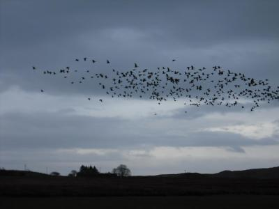 Barnacle geese over Aros