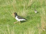 Oystercatcher & chick